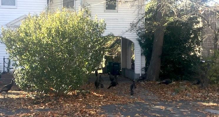 Flock of Turkeys in Backyard