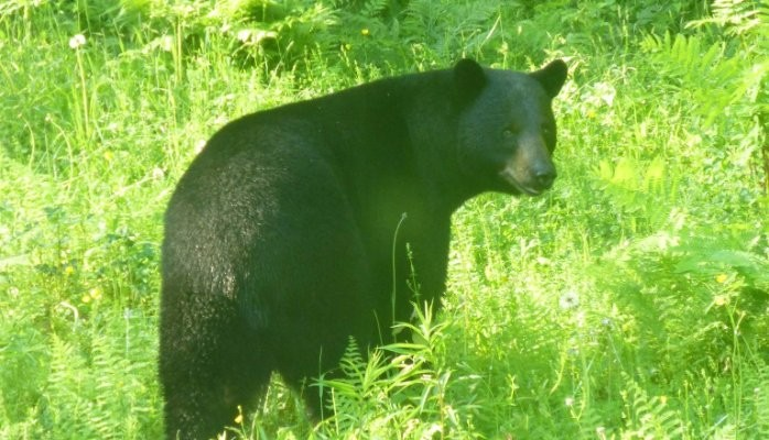 Black Bear in Tall Grass