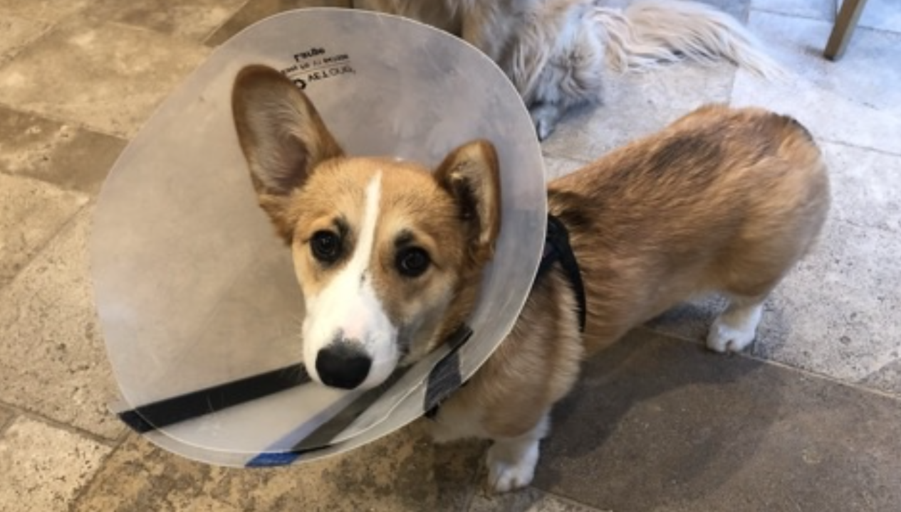 Like a dog without a cone